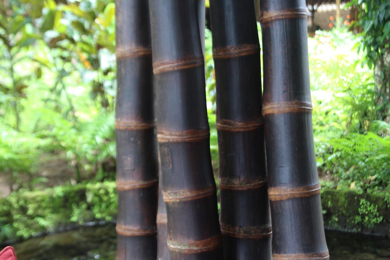 www.forestbambu.com248Bambu-negro-3
